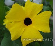 Tunbergia 'Lemon Star'