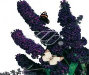 Buddleja dawida 'Black Knight'